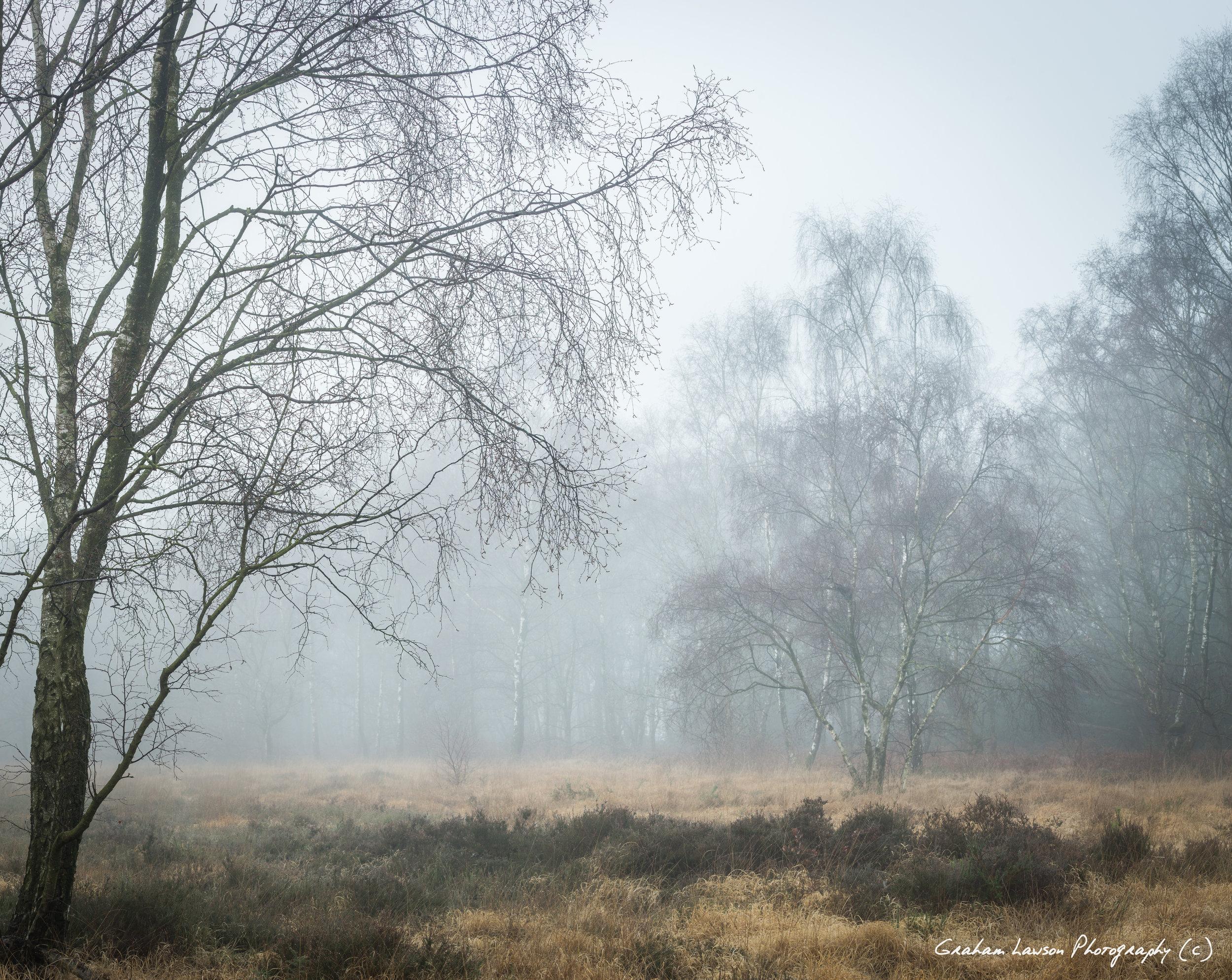 Birch in December
