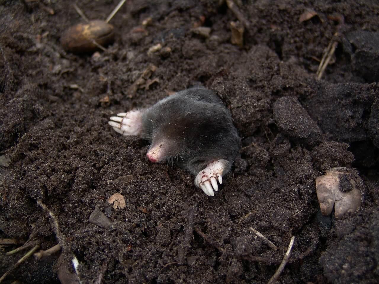 mole-13298_1280.jpg
