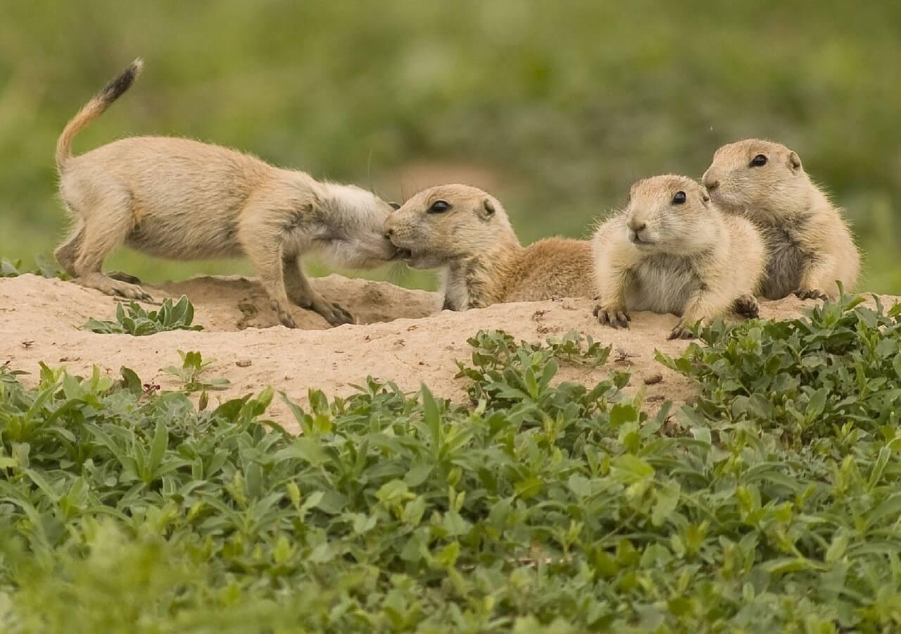 prairie-dogs-938578_1280.jpg