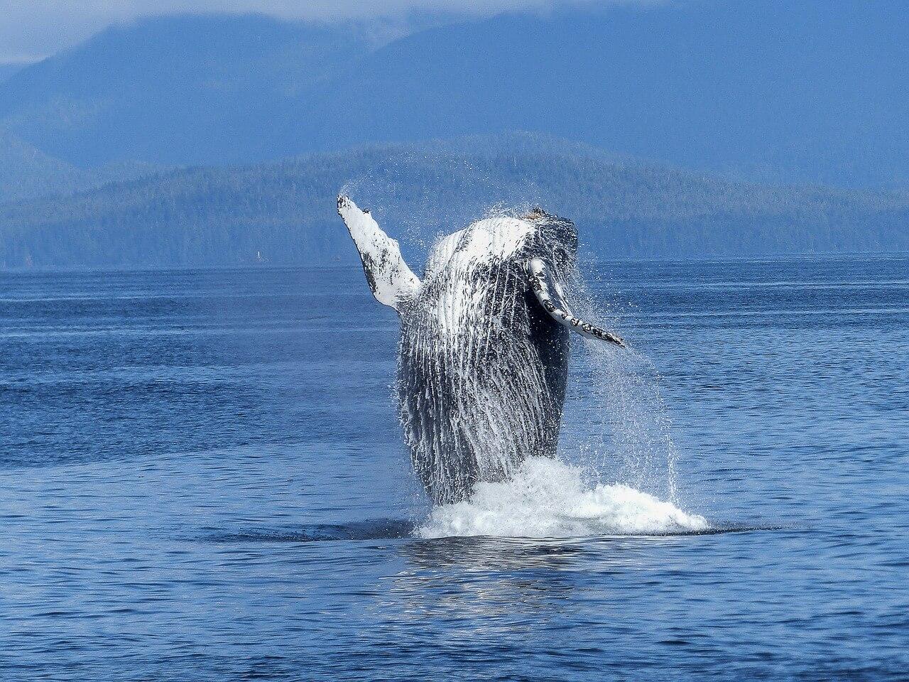 humpback-whale-431902_1280.jpg