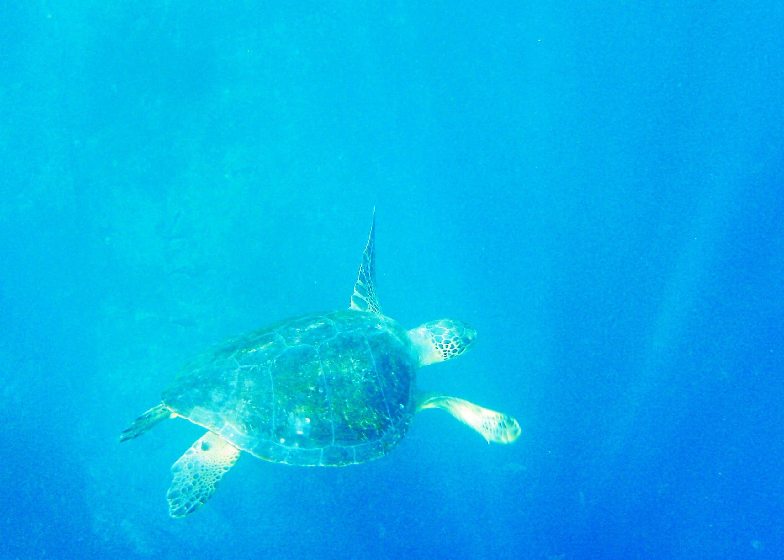 My best sea turtle pic.JPG