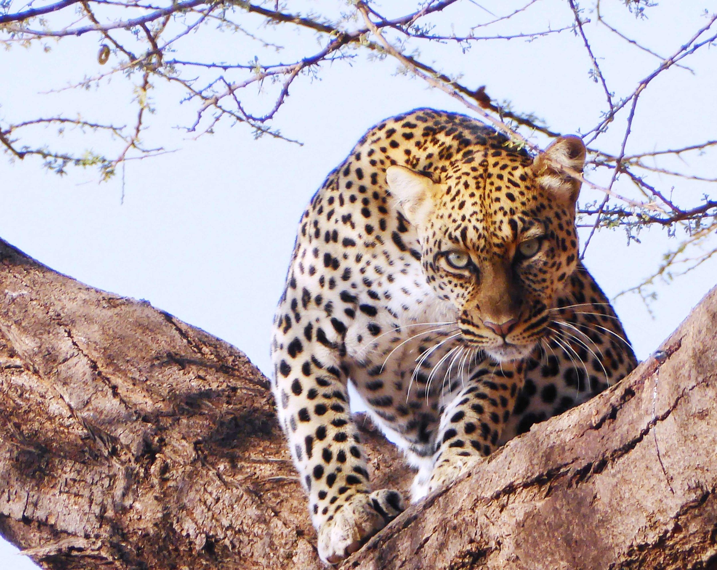 Leopard spies.JPG