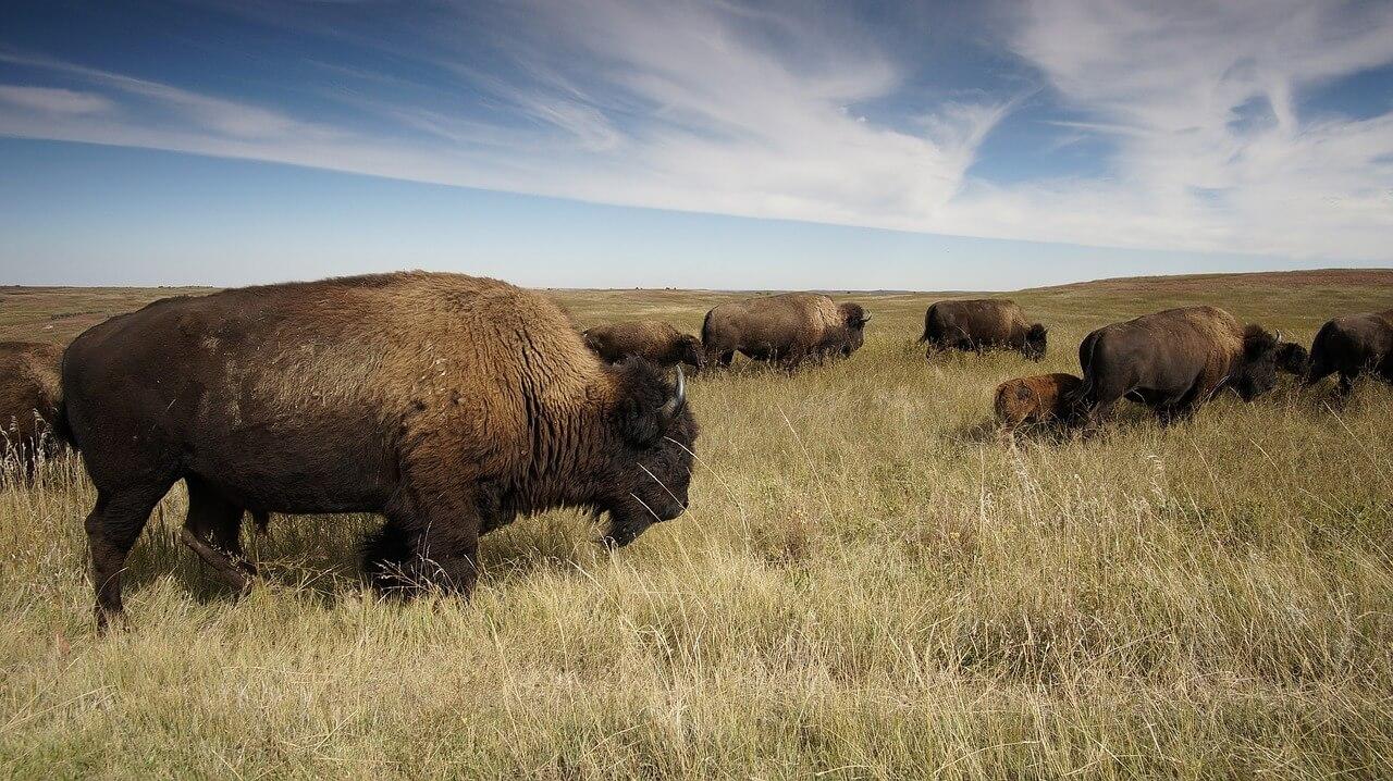 bison-1374067_1280.jpg