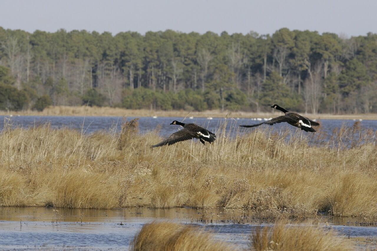 canadian-geese-854834_1280.jpg