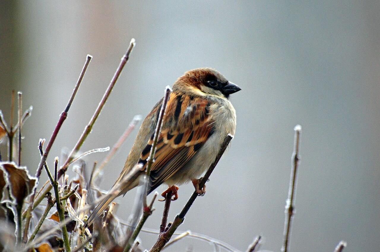 sparrow-50346_1280.jpg
