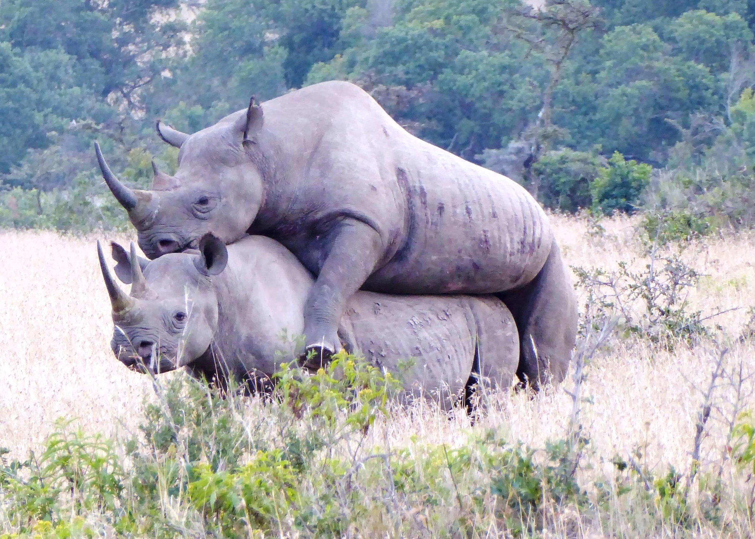 Rhino mating.jpeg
