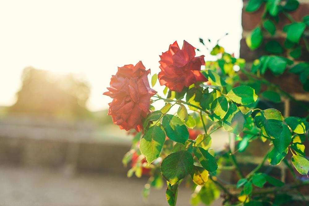 """The """"rosier"""" (rosebush) on the property"""