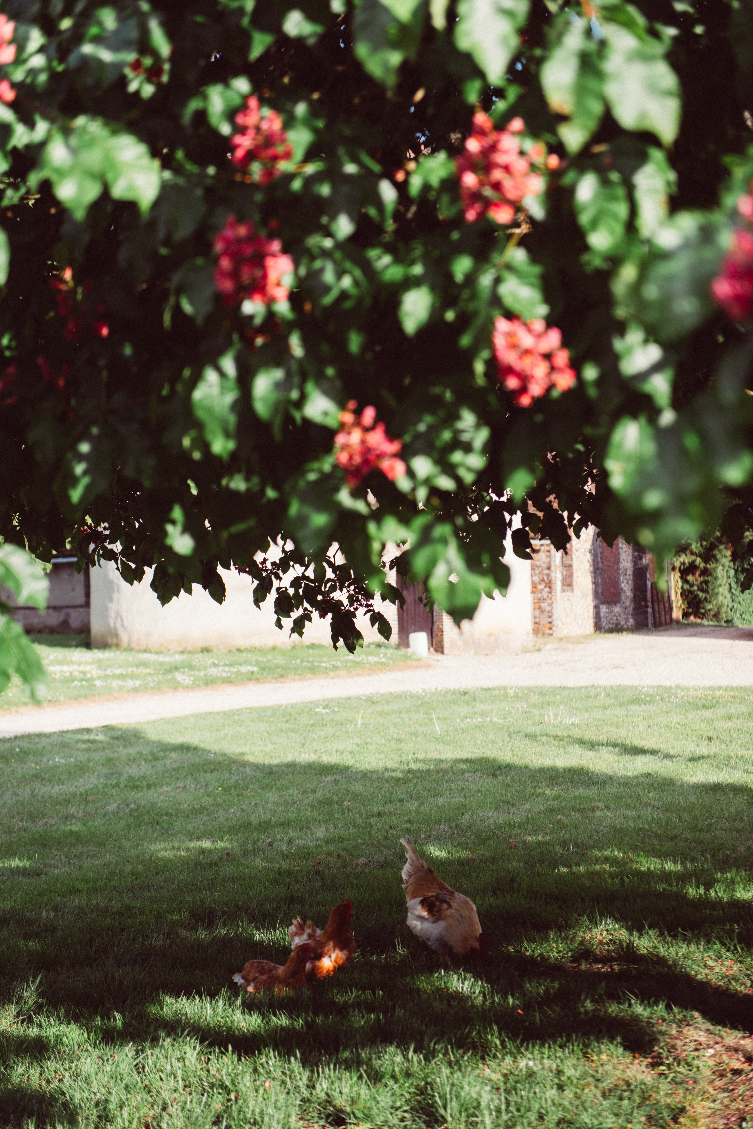 Our chickens under the chestnut tree
