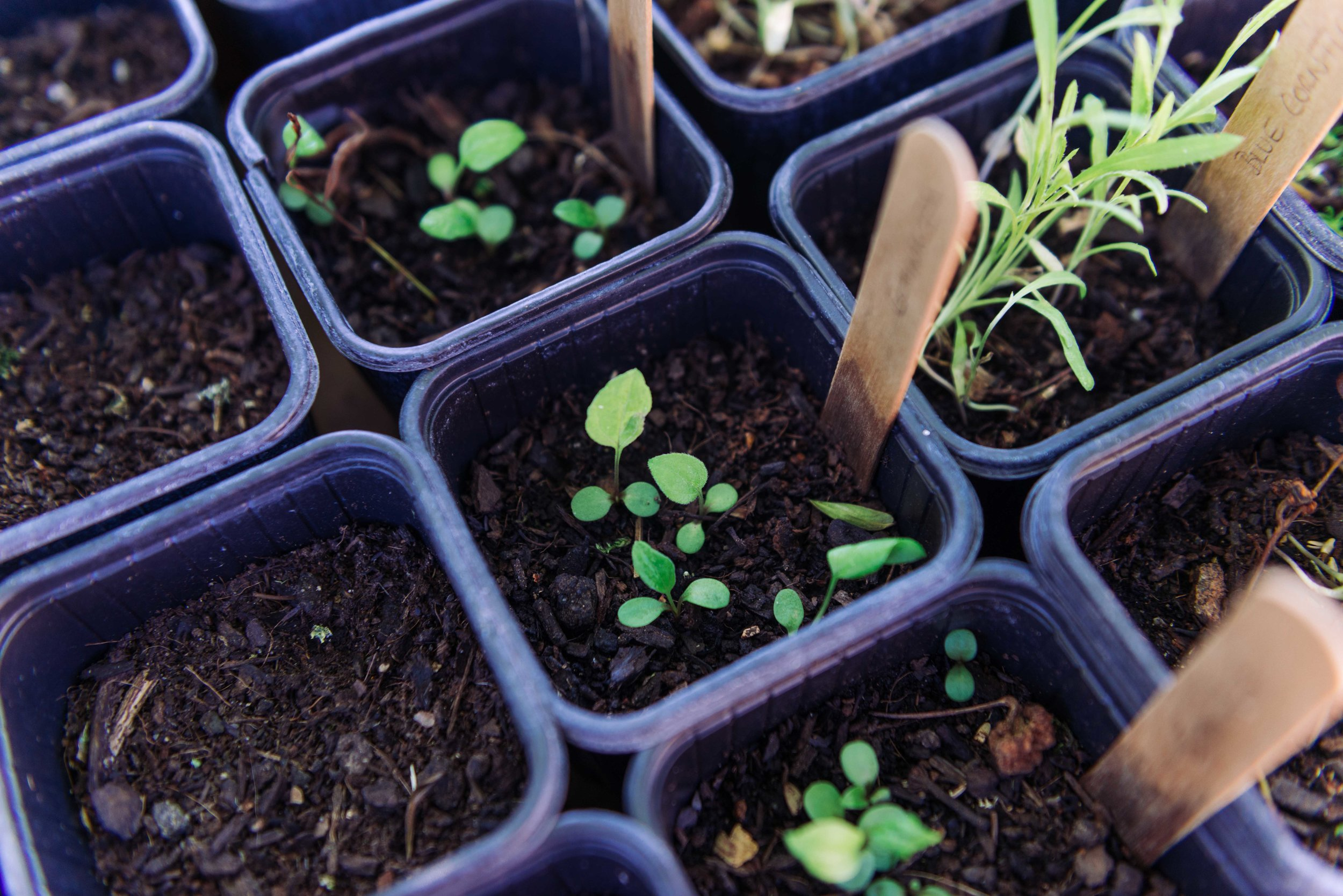Seedlings of echinacea, blue cornflower, and chamomile