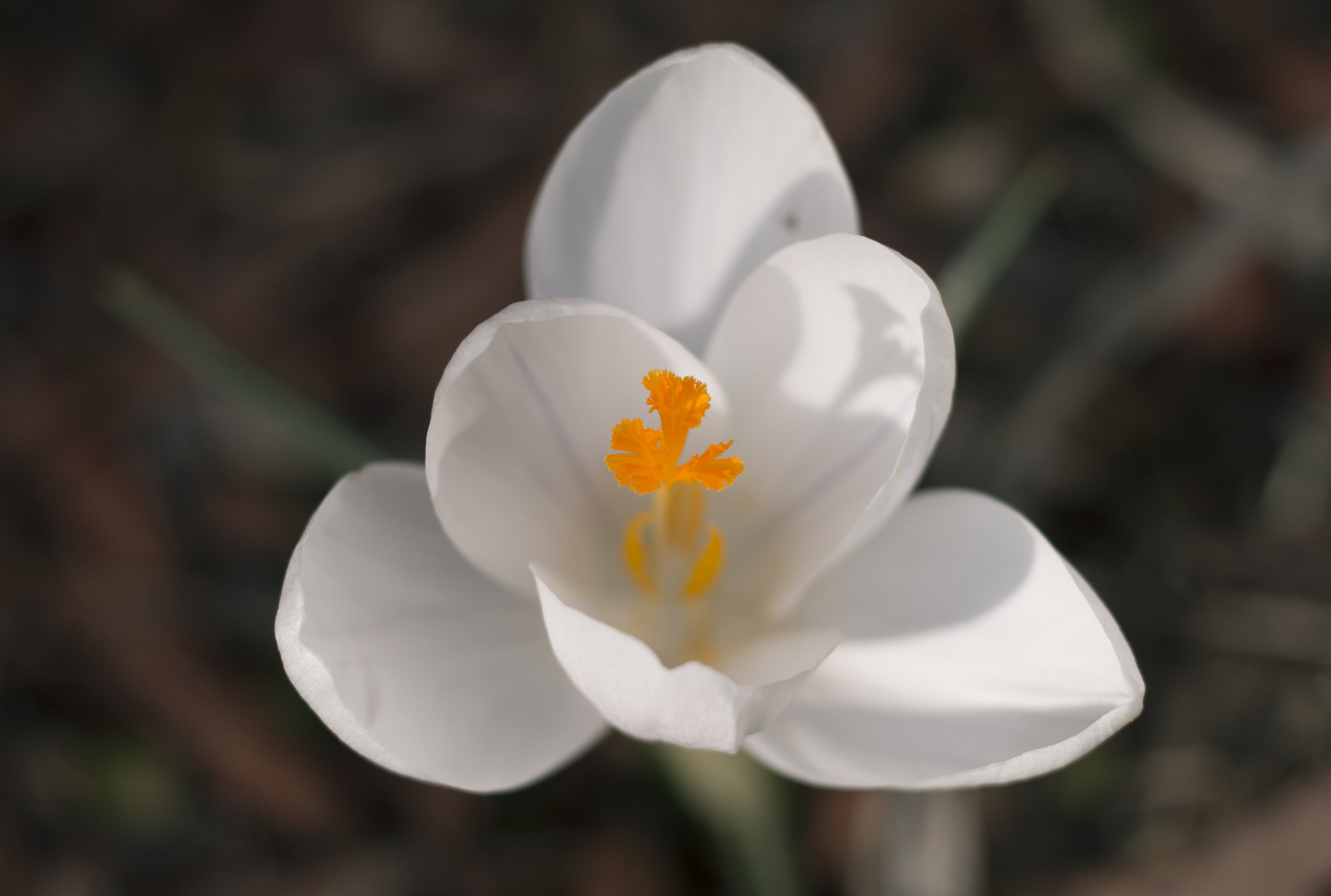 White crocus photo
