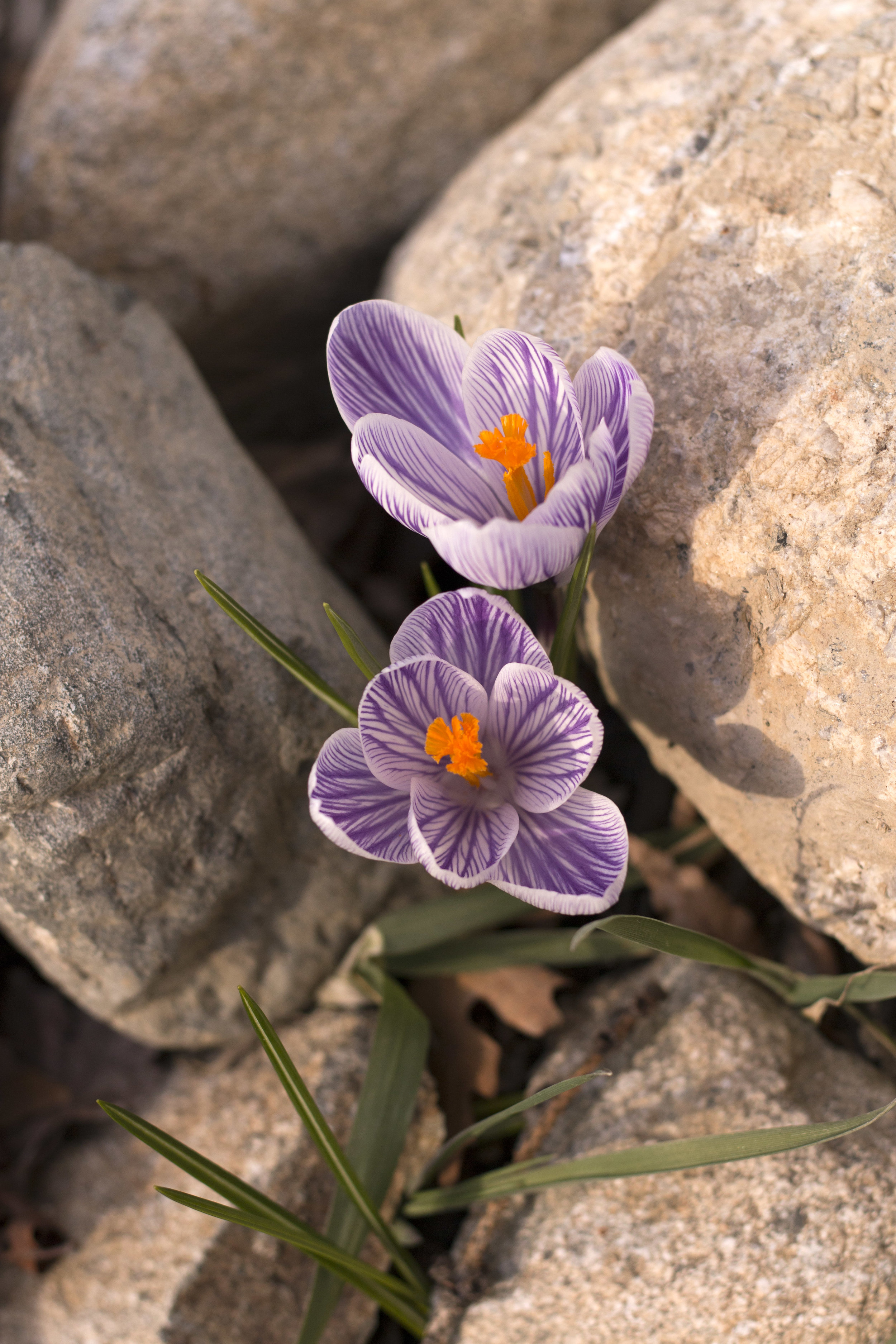 purple striped crocuses in rocks