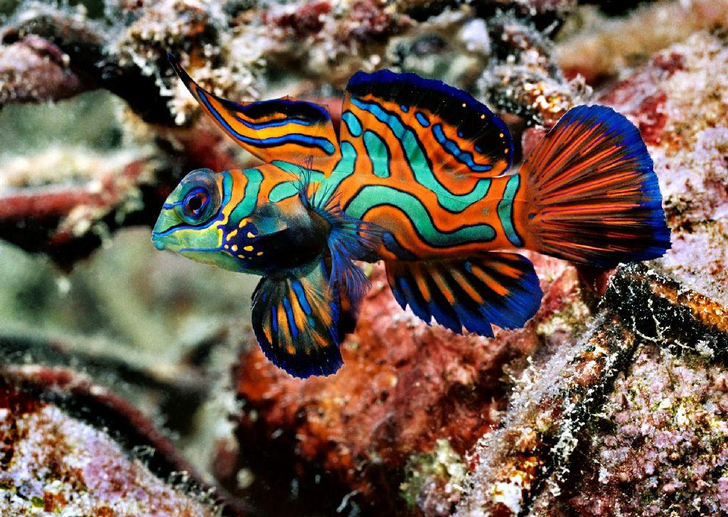 Mandarinfish1.jpg