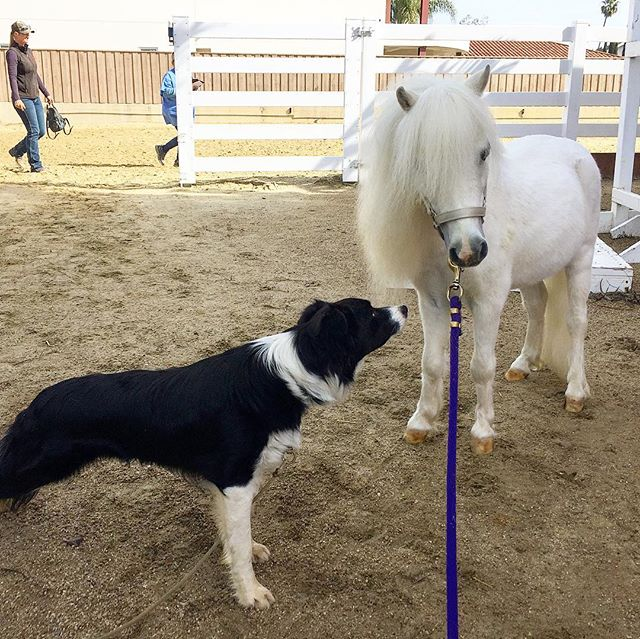 I met my farrier's amazing #bordercollie rescue dog! #hinewfriend