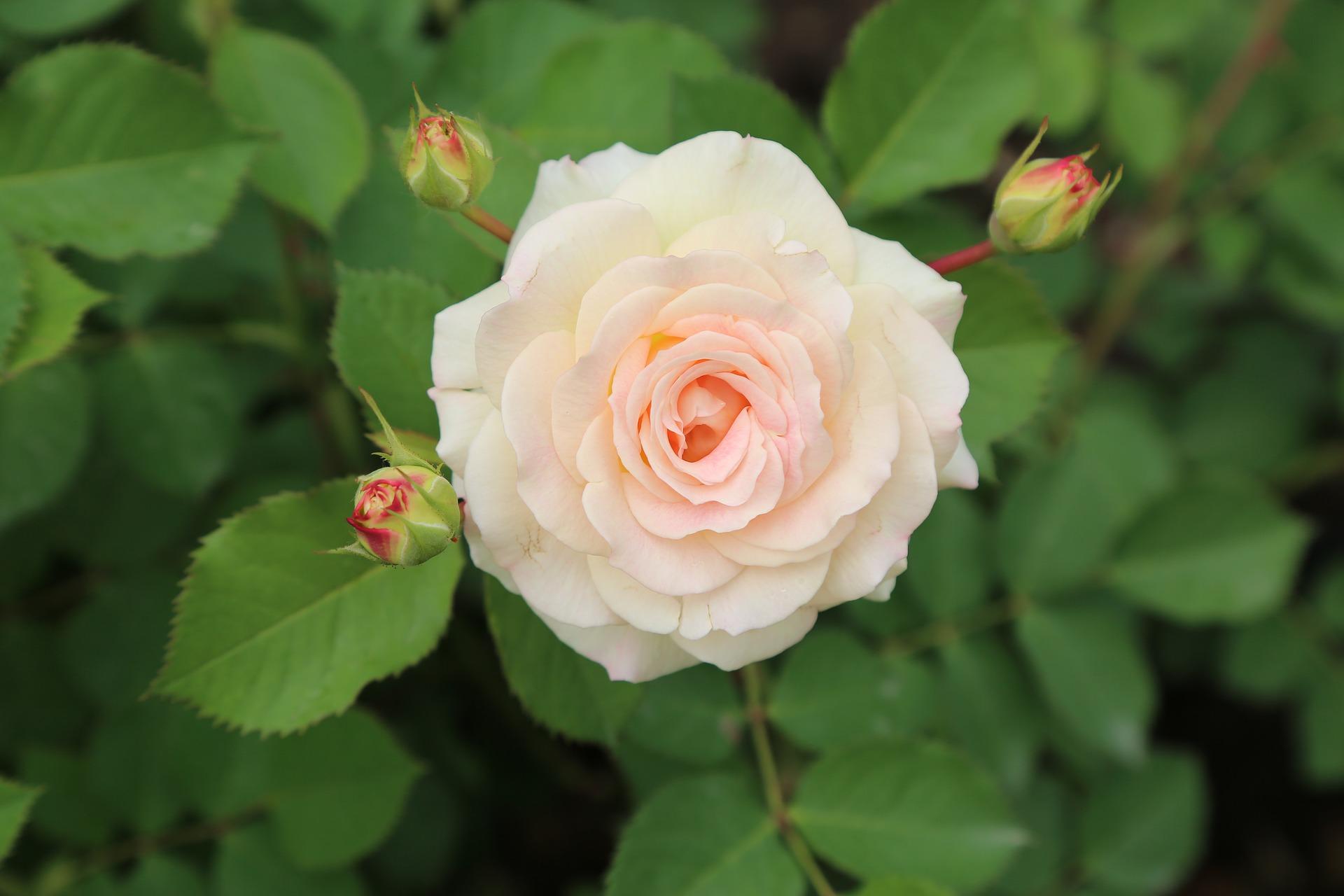 rose-3384487_1920.jpg
