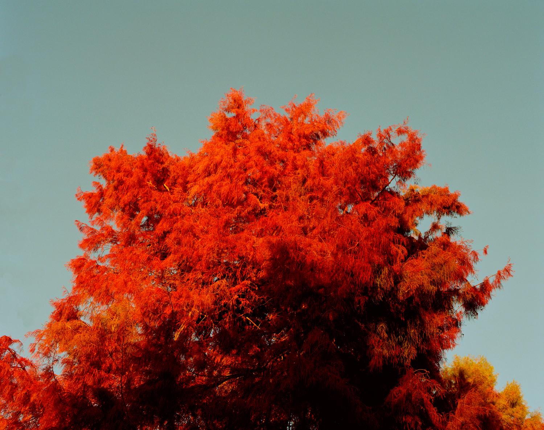 Sam_Wright_Red_Tree_Autum_California.jpg