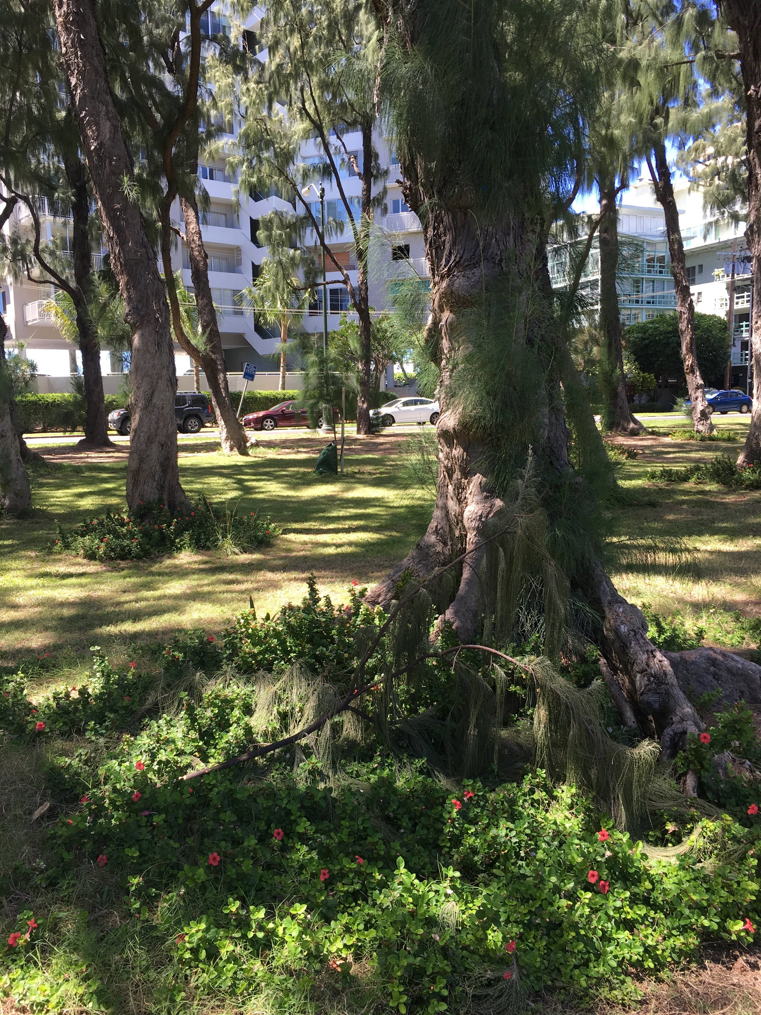 """The magical grove of fern trees at Kapiolani Park near Kalakaua Avenue and the """"Gold Coast"""" in Honolulu - I would've missed out on noticing this special place had I been in a rush, in my head, looking at my phone, or any other action that wasn't """"being in the now.""""  (Photo taken March 2018) ."""