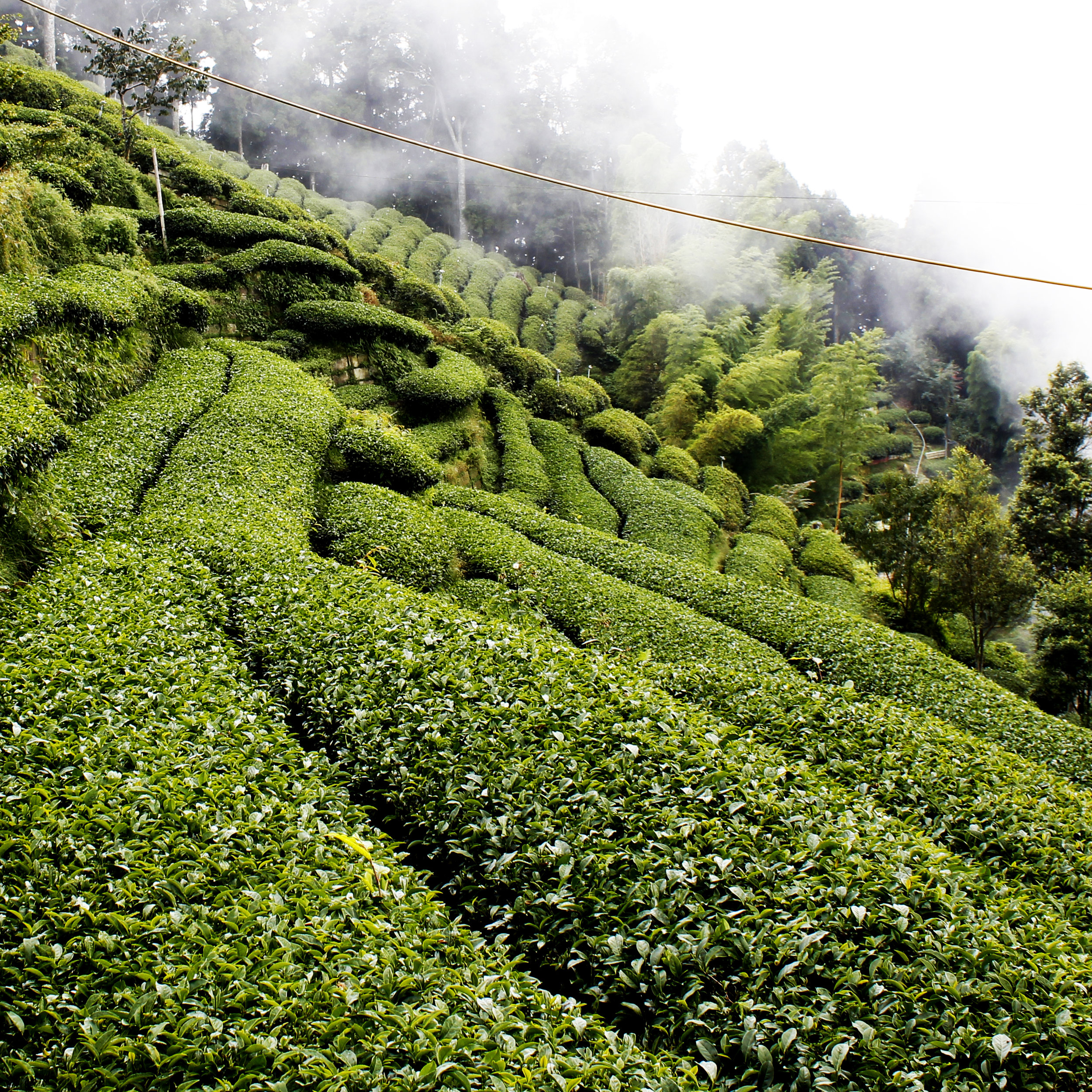 FujianToAliShan-mem-oolong-loose-whole-leaf-tea-2.jpg