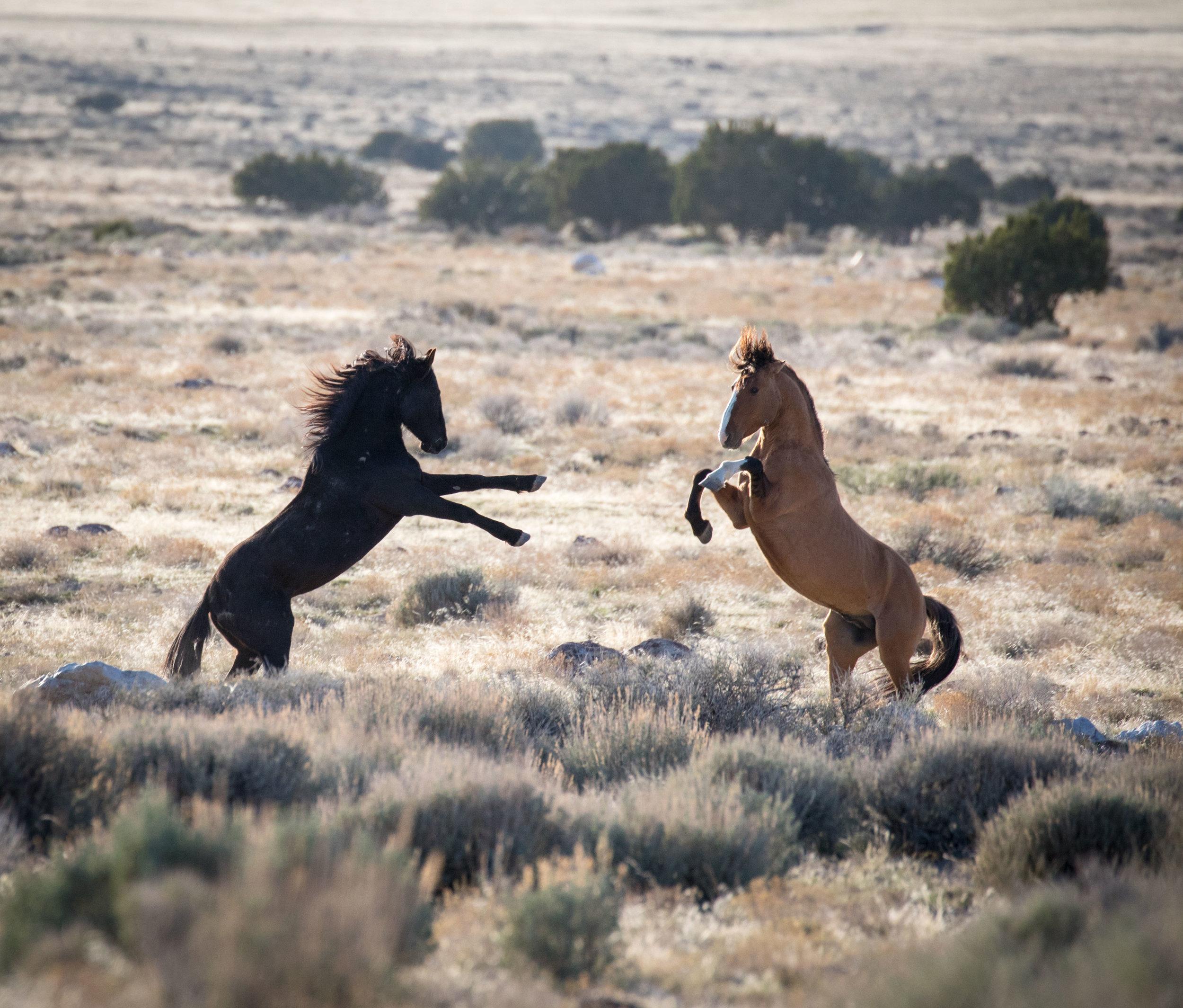 A Bachelor Stallion & Band Stallion face off.