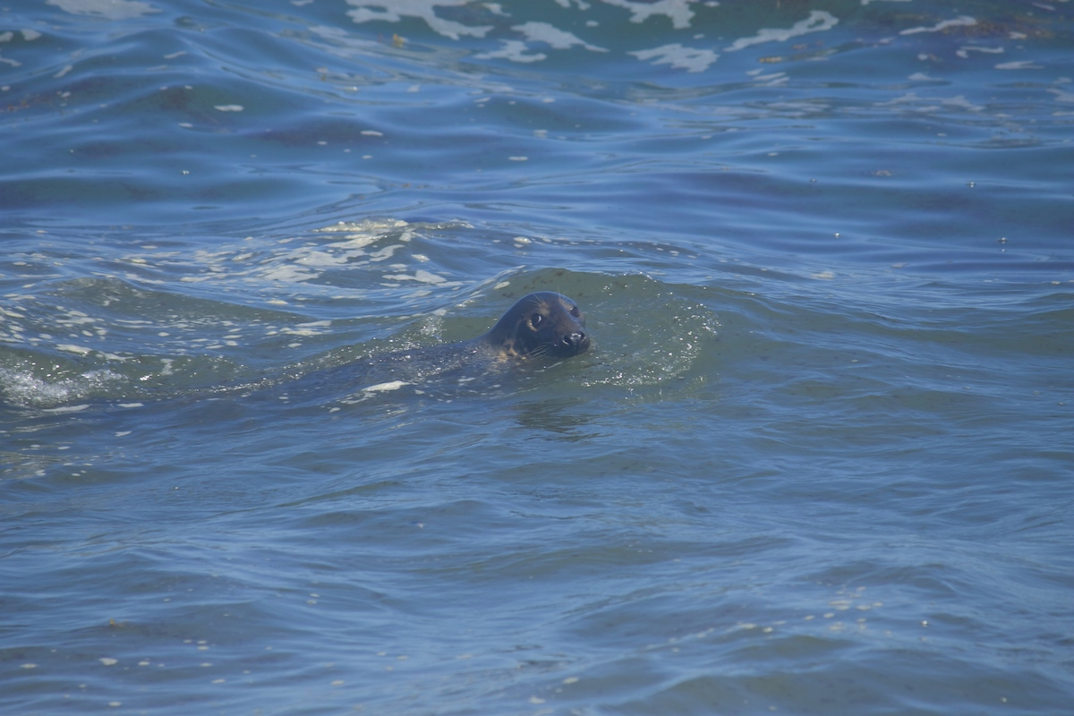 Seals-cape-cod.jpg