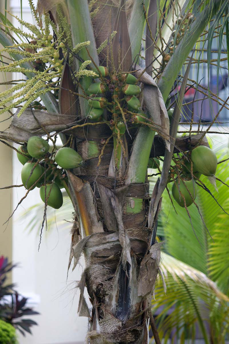 coconut-tree.jpg