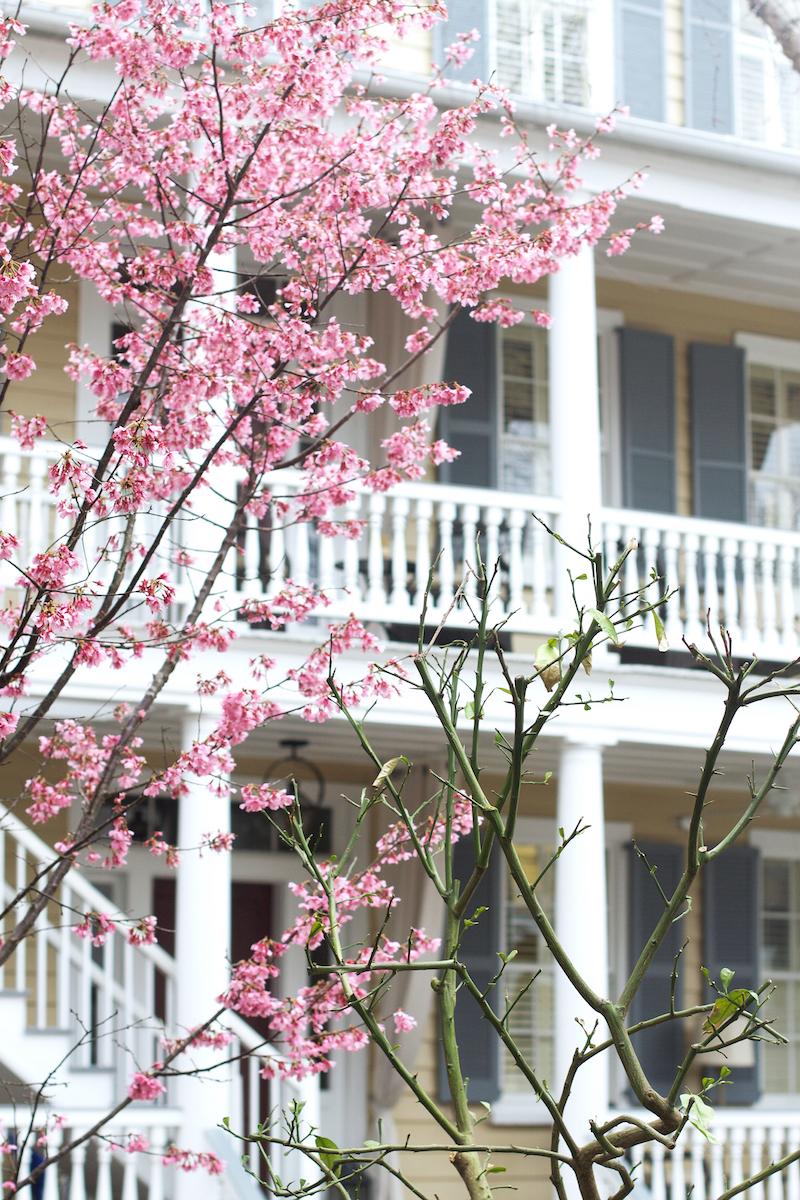 cherry-blossoms-in-Charleston.jpg