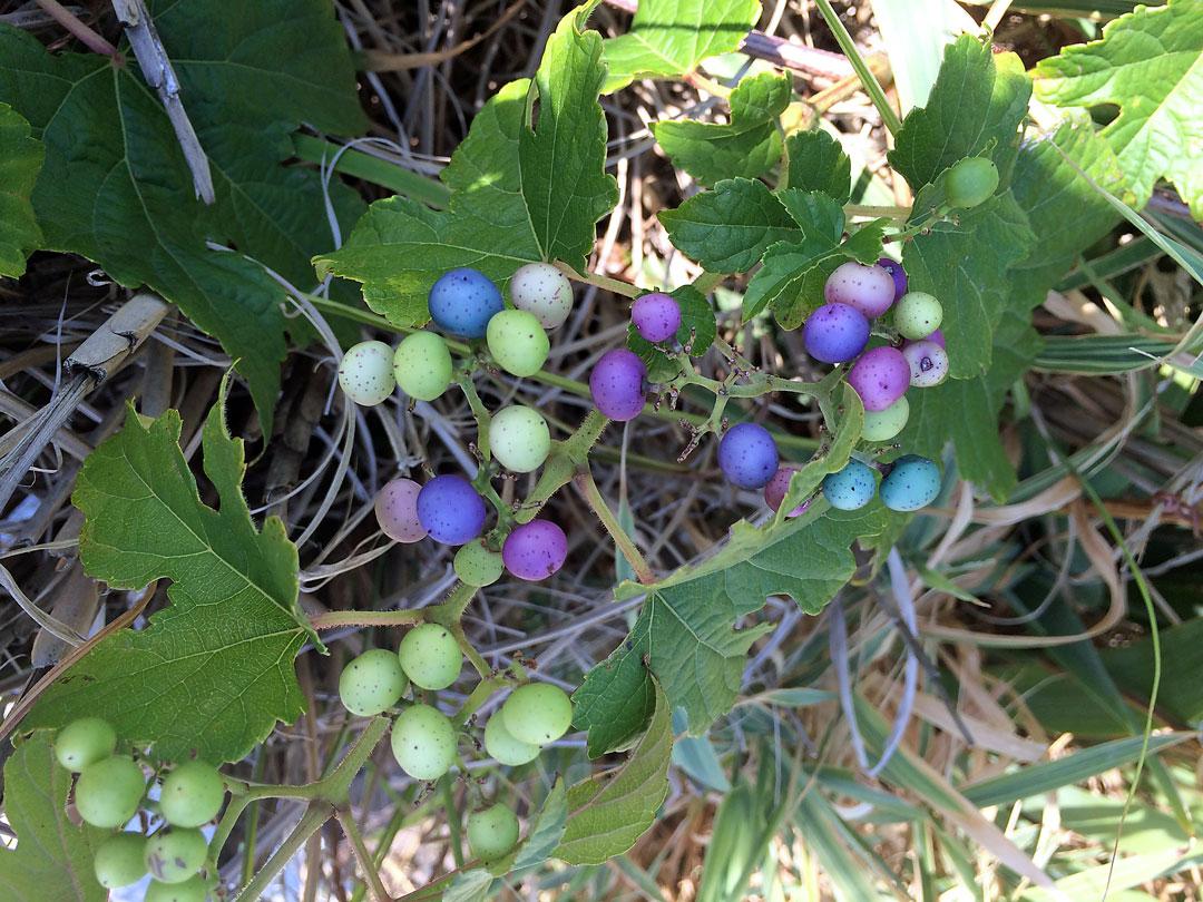 porcelain-berries.jpg