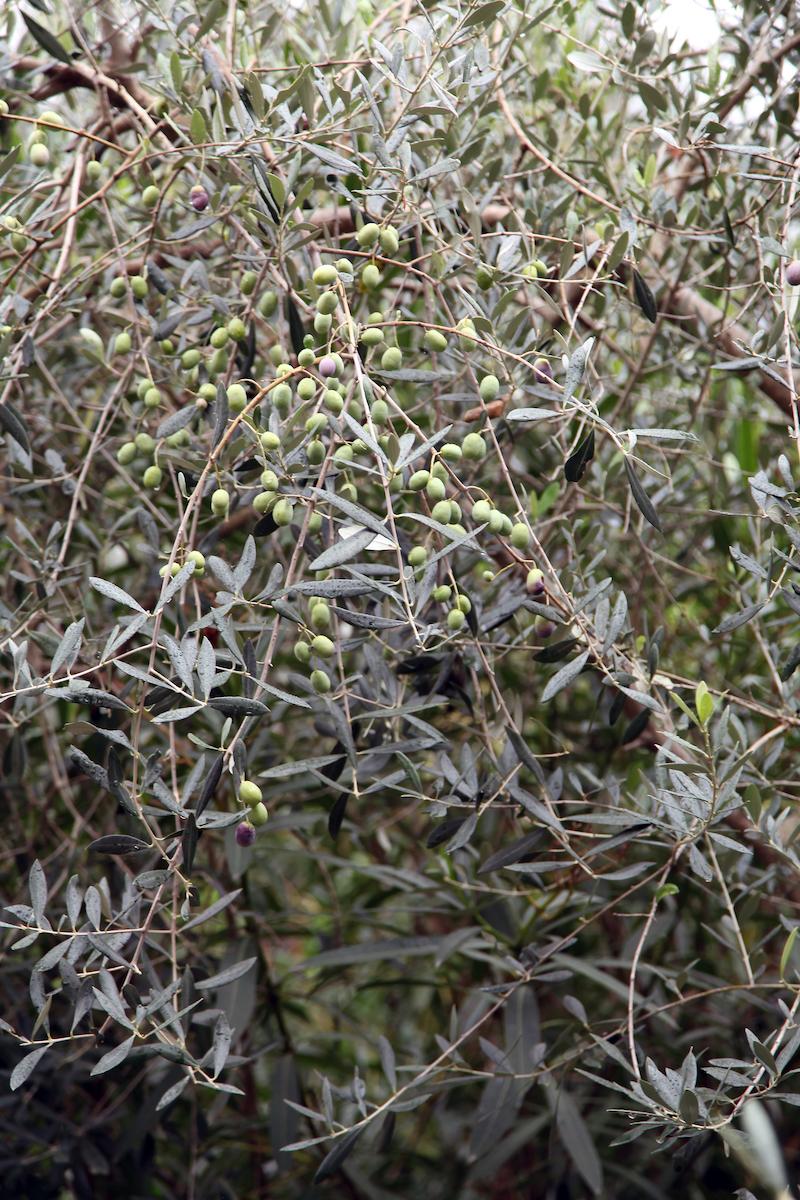 olive-trees-in-Italy.jpg