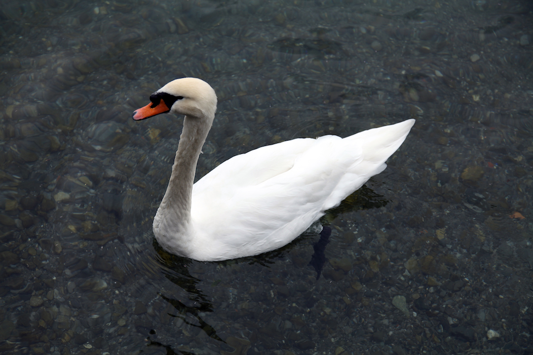 swan-in-lake-como.jpg
