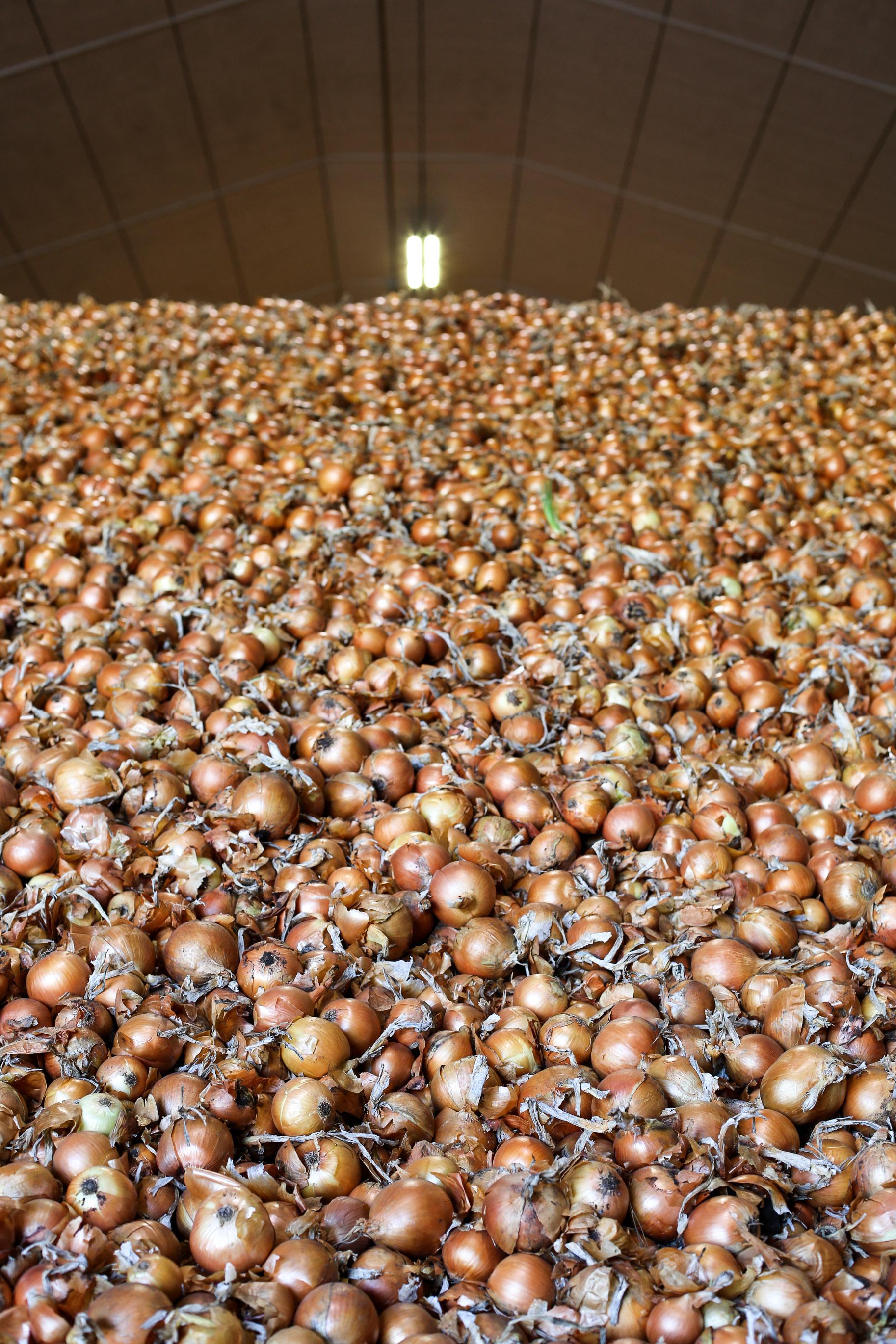Minkus-Family-Onion-Farm17.jpg