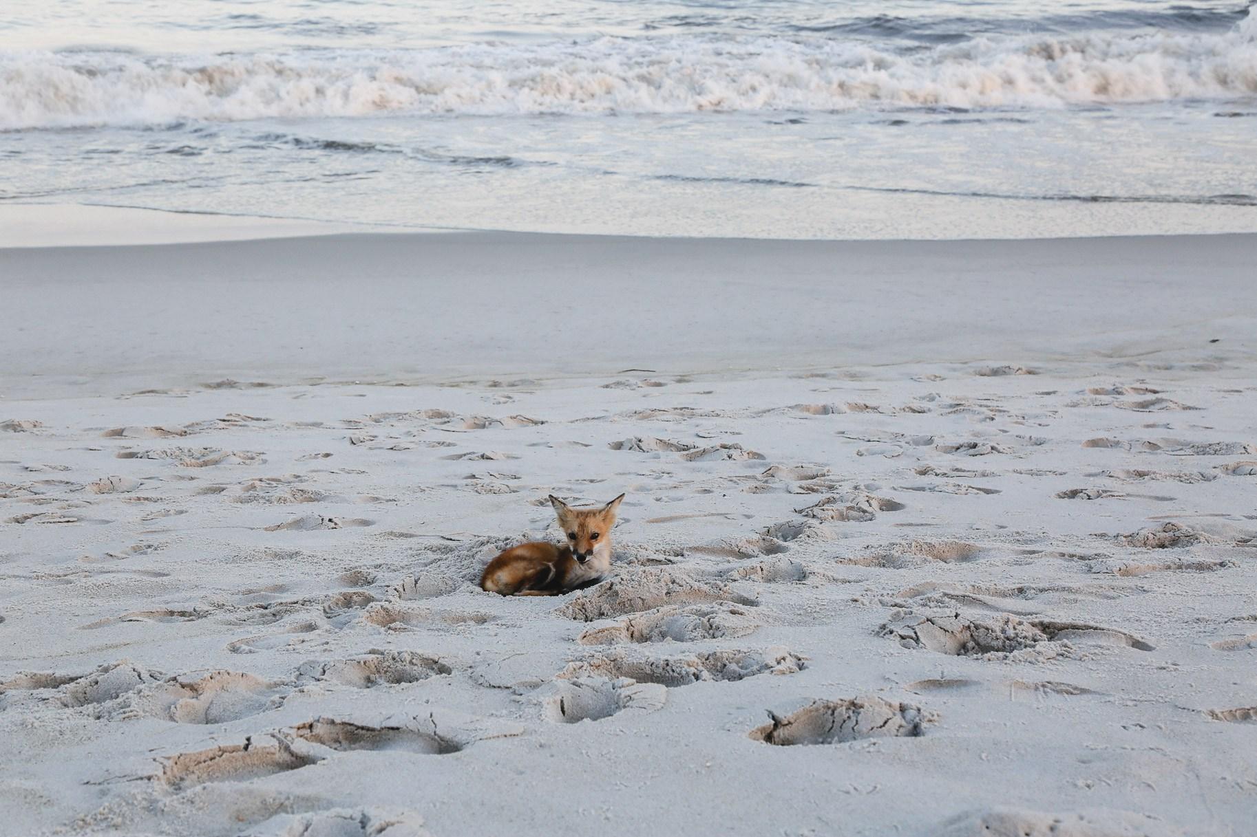 fox-at-the-beach3.jpg