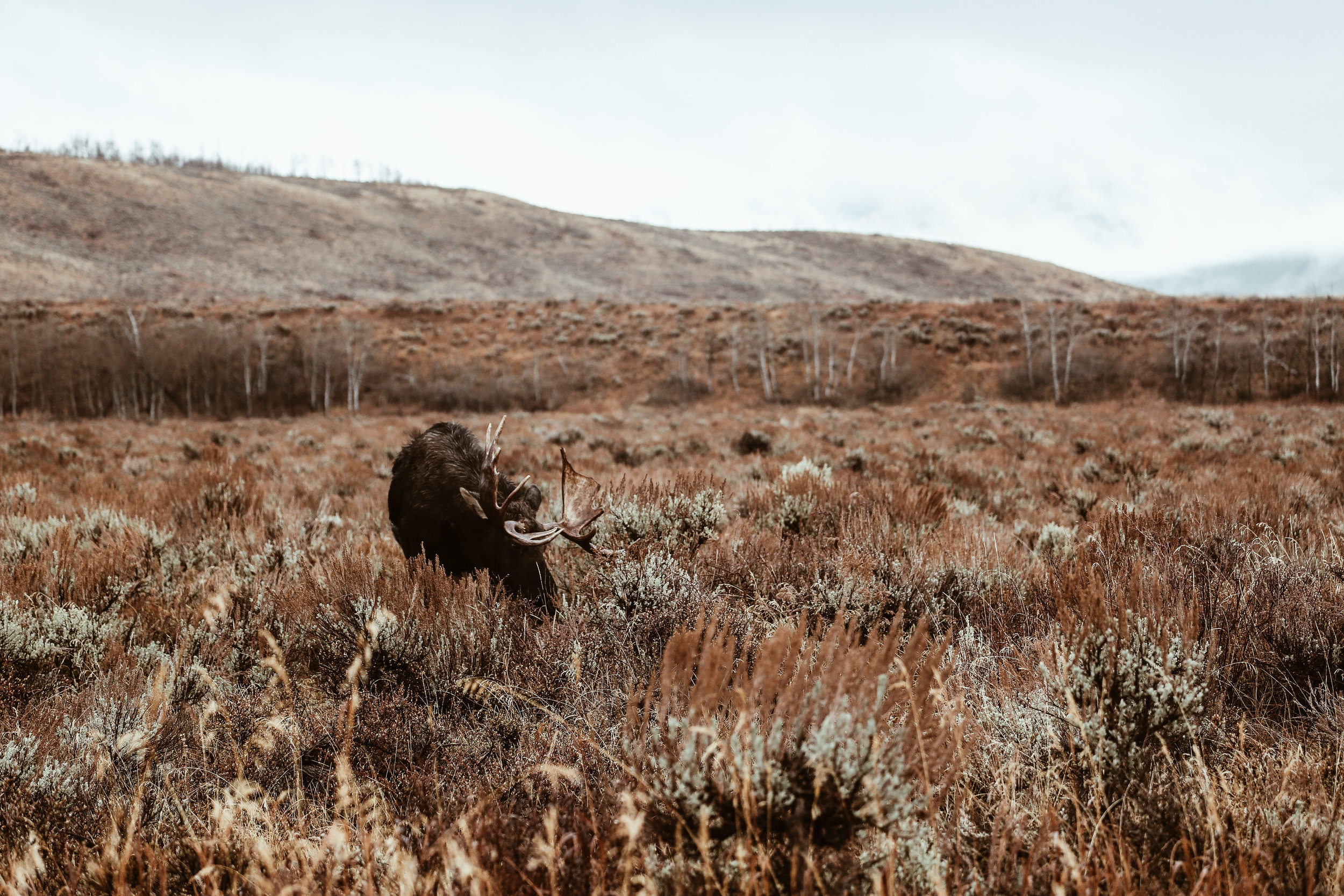 A moose spotted while on our Jackson Hole Wildlife Safari