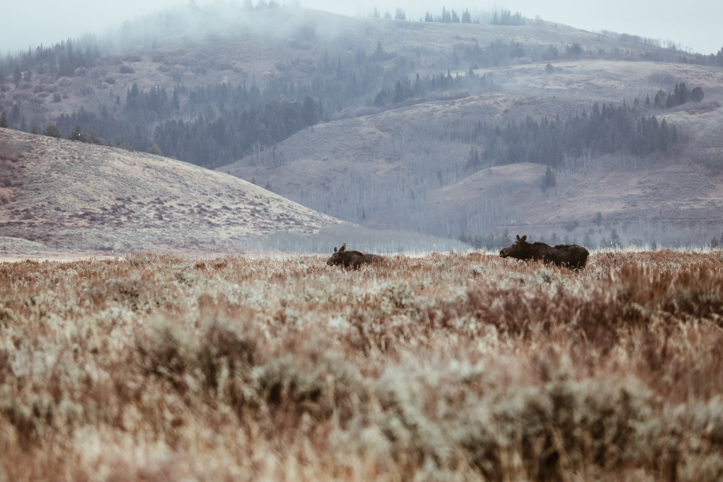 A baby moose + mama moose spotted in the field while on our Jackson Hole Wildlife Safari