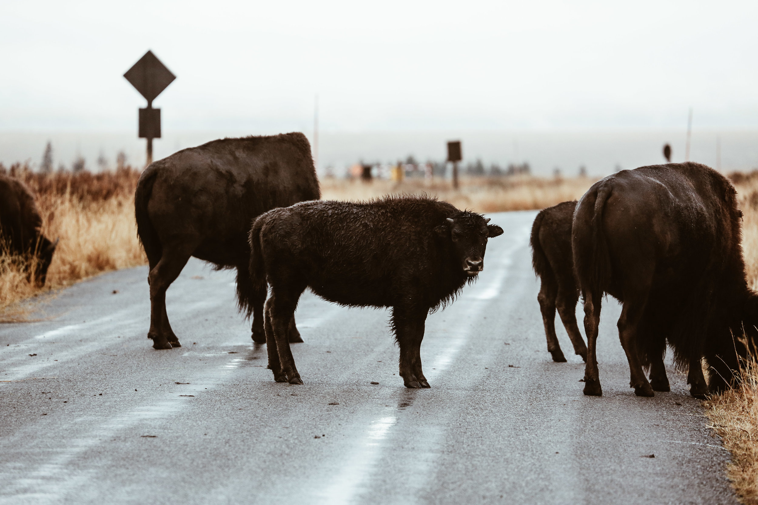 Bison spotted on our tour with Jackson Hole Wildlife Safaris