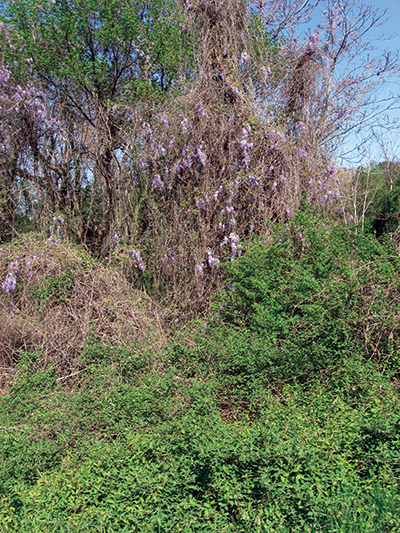 (Left) Aggresive, invasive non-natives can quickly spread, cover, and kill native vegetation, such as this invasion of Asian Wisteria, Japanese Honeysuckle and Multi-flora Rose.