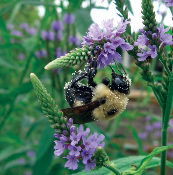 A bee covered in pollen, feeds on Blue Vervain ( Verbena hastata)  flower nectar.  Photo by Jan Newton. Cannot be reproduced without permission .