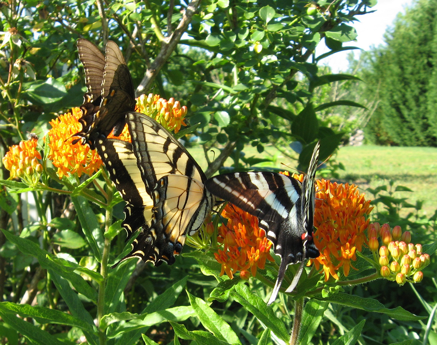 Butterfly Weed,  Asclepias tuberosa , is a magnet for butterflies. Asclepias  species   are  critically important larval hosts and nectar sources for the Monarch Butterfly ( Danaus plexippus ). Photo by Jan Newton. Cannot be reproduced without permission.