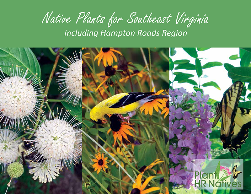 As shown on the cover of the regional native plant guide for Southeast Virginia, a Goldfinch eats the seeds of a Blackeye Susan flower  (Rudbeckia hirta; photo by Seig Kopinitz, John Clayton Chapter of the Virginia Native Plant Society) , while a Eastern Tiger Swallowtail butterfly enjoys nectar from Garden Phlox ( Phlox paniculata; photo by Jan Newton )and a bee feeds on the flower of a Buttonbush  (Cephalanthus occidentalis; photo by Trista Imrich ).