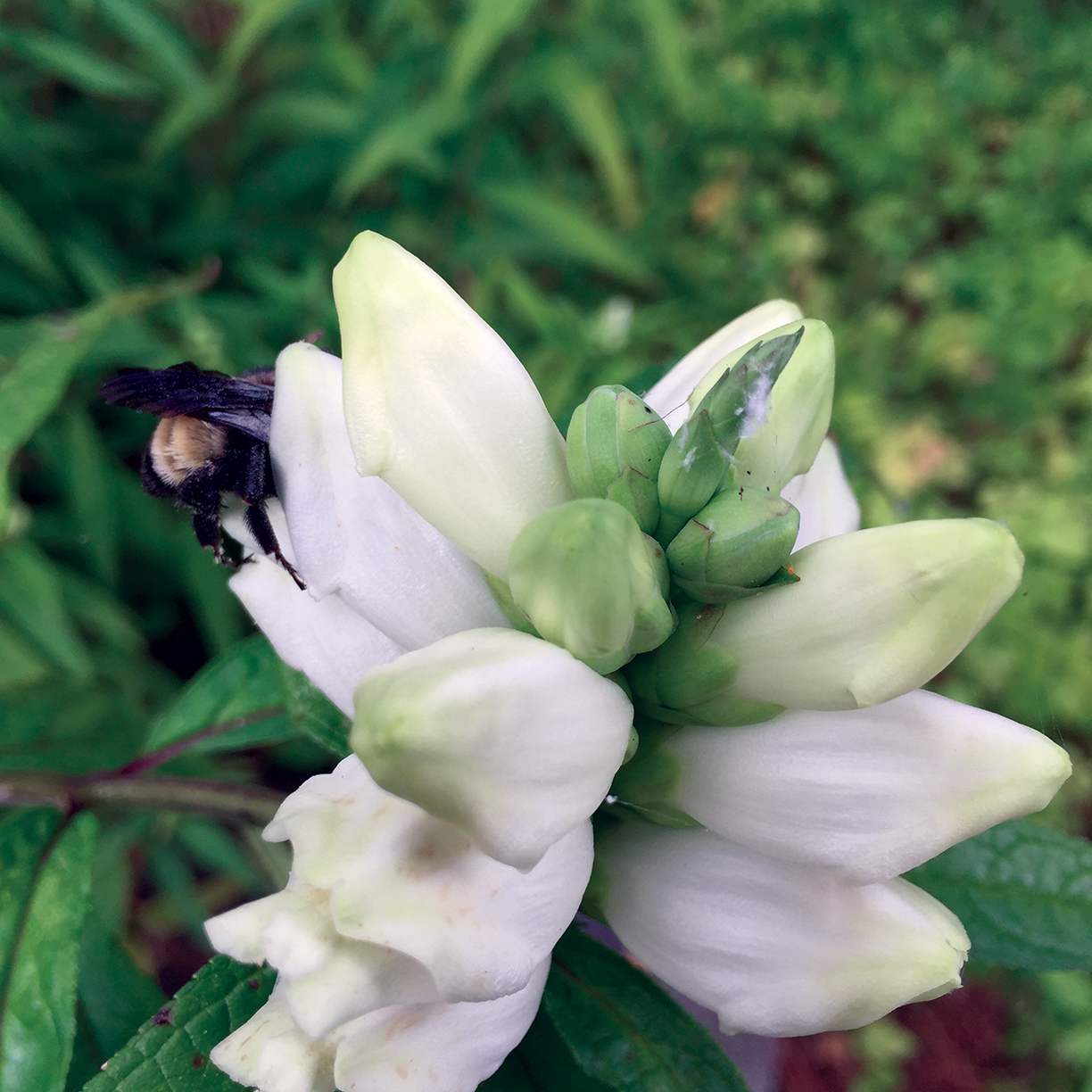 A bee feeding on the nectar of White Turtlehead,  Chelone glabra. This plant is also a nectar source for butterflies and is a larval host of the Baltimore Checkerspot butterfly  (Euphydryas phaeton). Photo by Trista Imrich.Photo cannot be reproduced without permission.