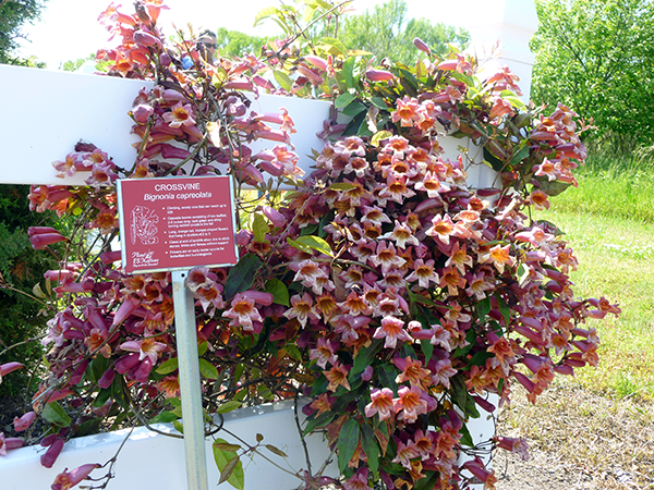 Crossvine-at-Kiptopeke-Demo-Garden-with-ID-Marker.png