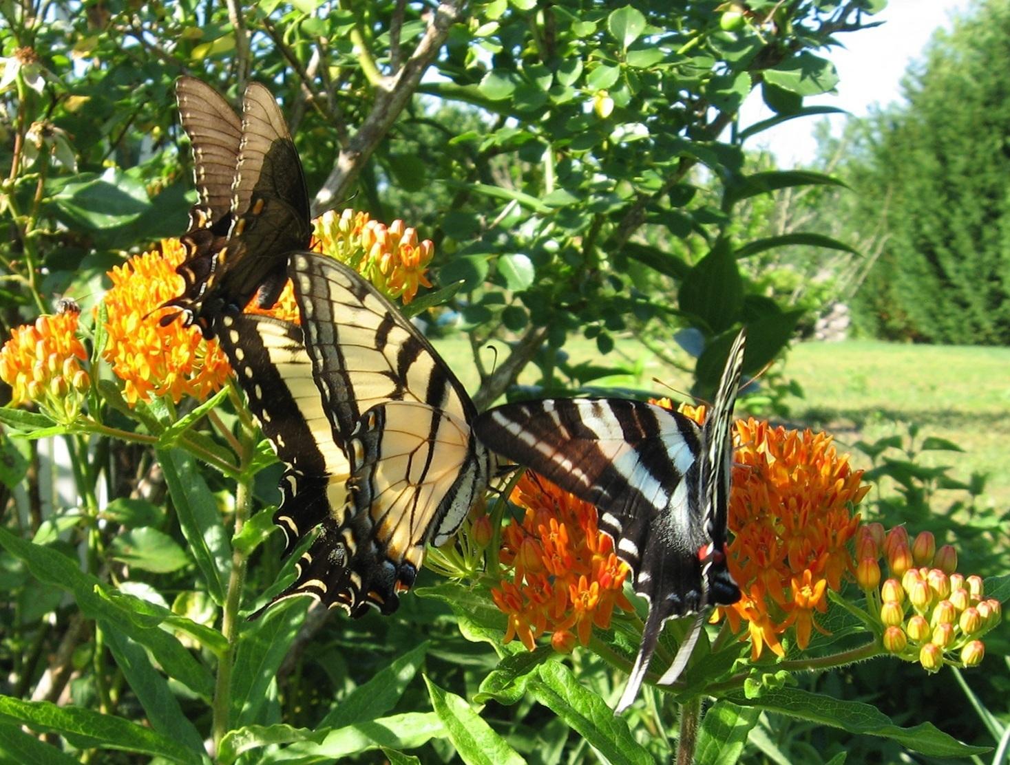 butterfly_wd_3_btrflies_6_3_11_wbg_byjan.jpg