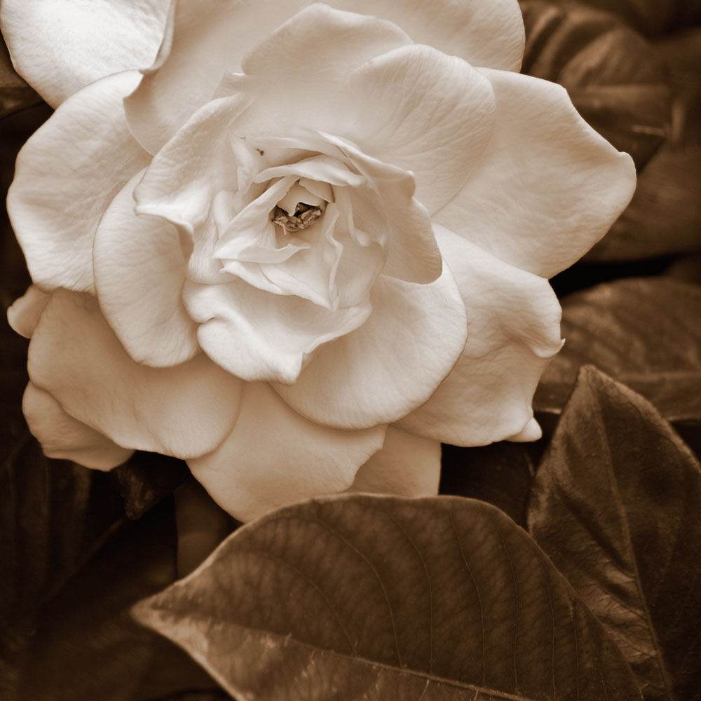 Gardenia-with-Leaves