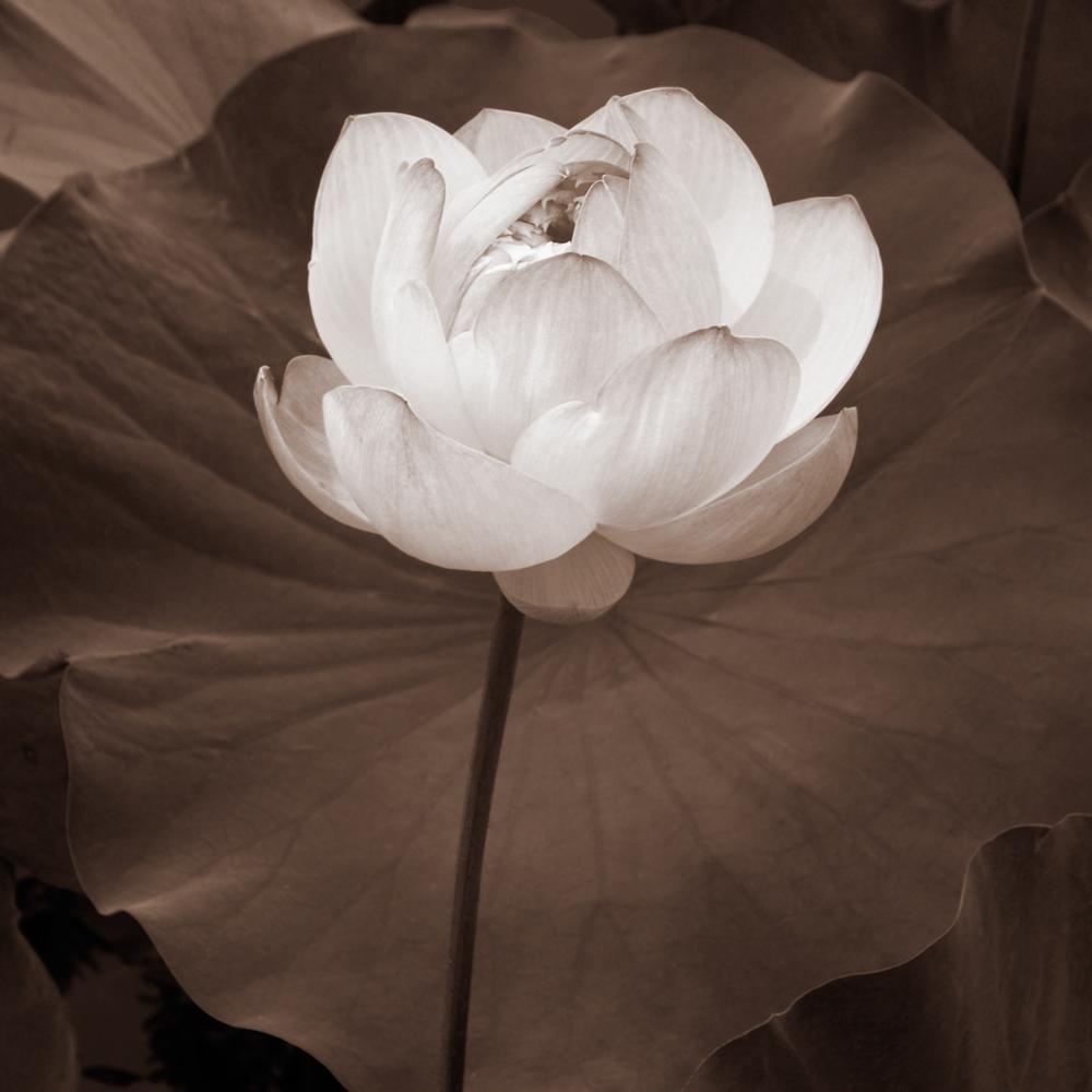 Lotus-Bloom-l