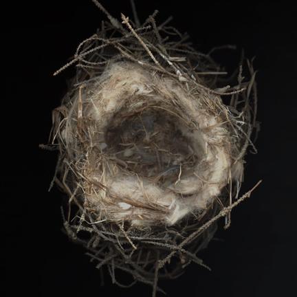 White-winged Crossbill Nest.l