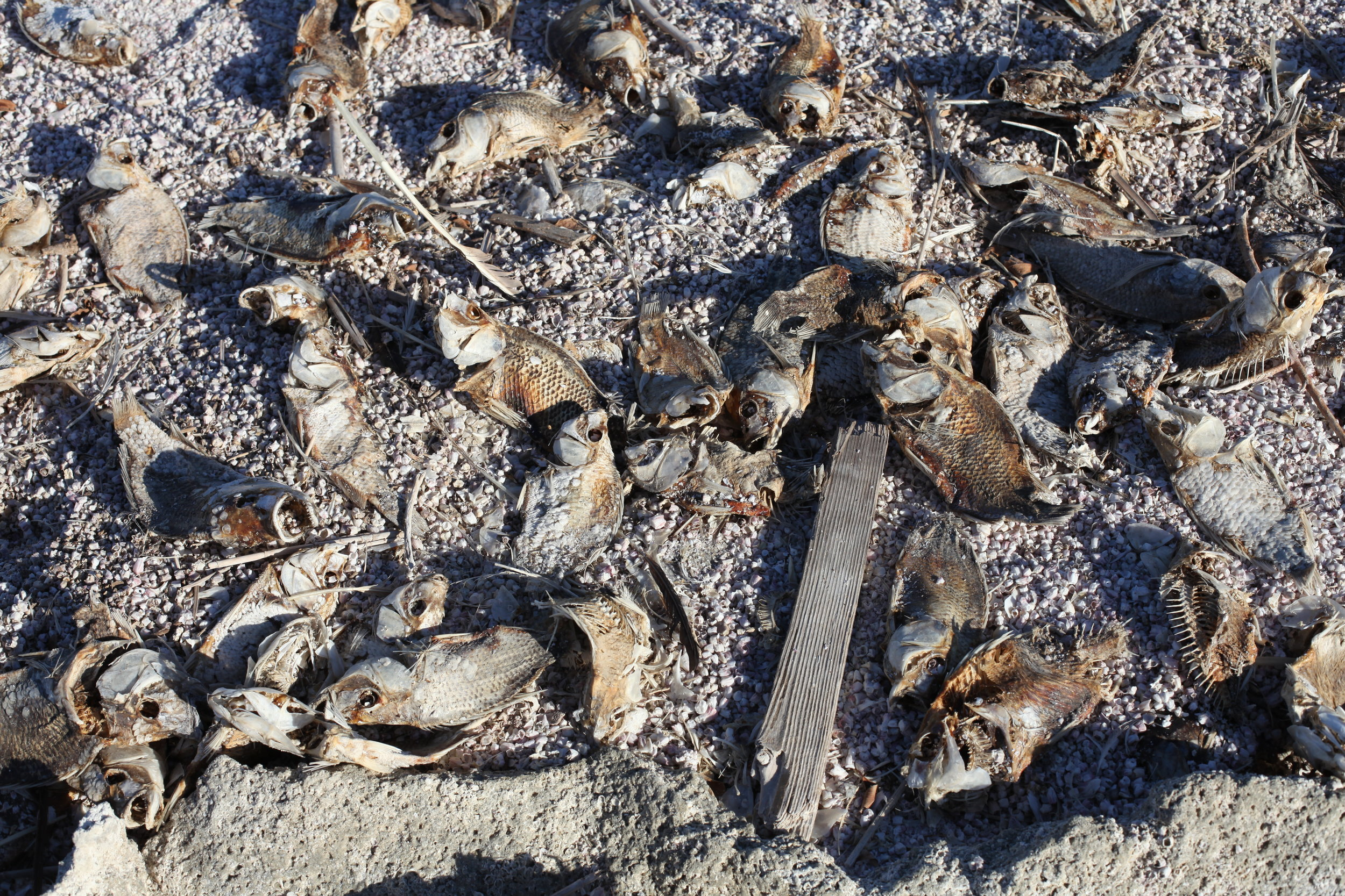 Dead tilapia from a 2013 mass die-off still cover Mecca Beach four years later on Jan. 6, 2017. (Photo by Ethan Jakob Craft.)