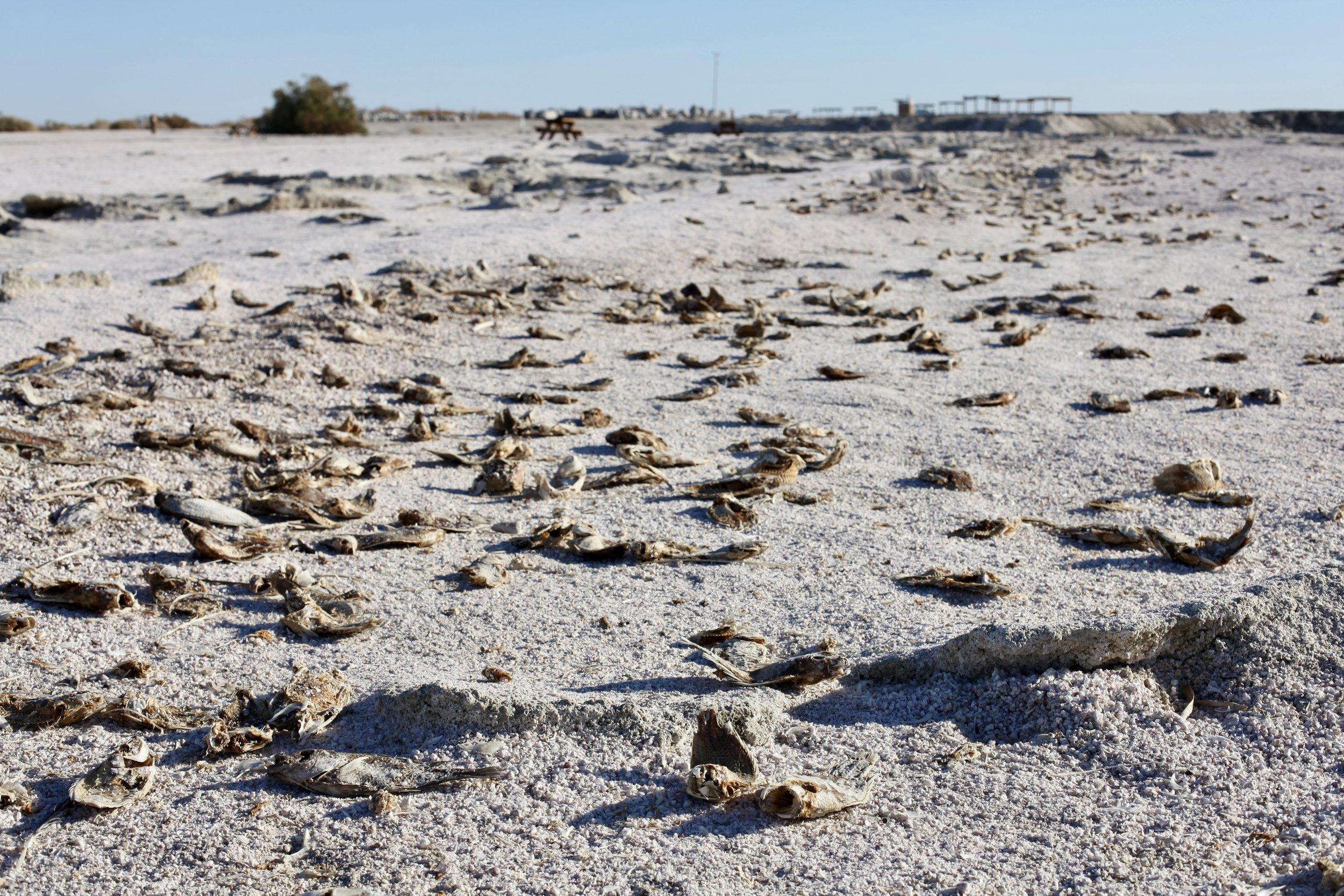 Hundreds of dead tilapia carcasses litter Mecca Beach on the Salton Sea's eastern shore on Jan. 6, 2017.(Photo by Ethan Jakob Craft.)