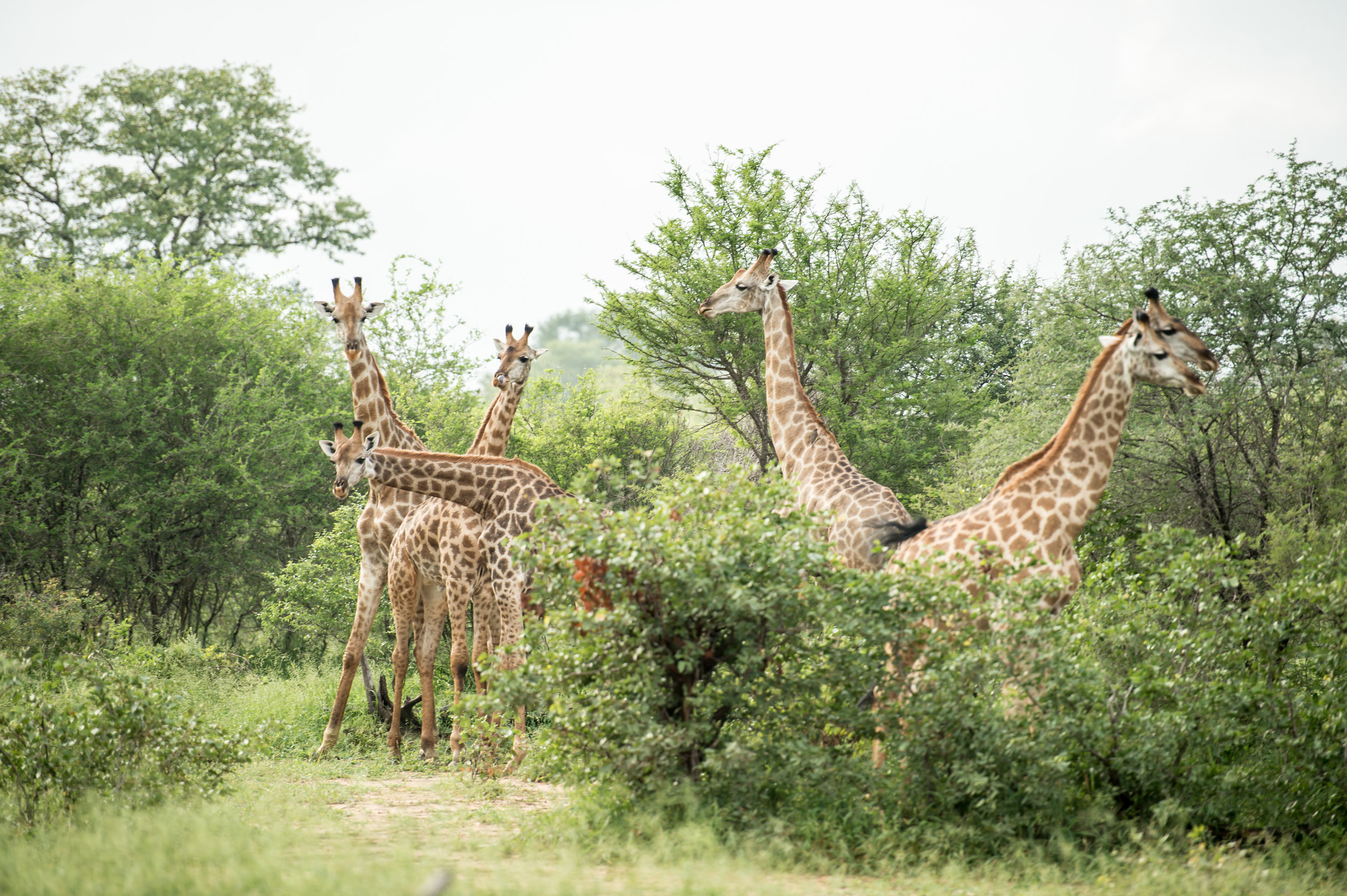Singita Pamushana (Wildlife - Giraffe)-16.jpg