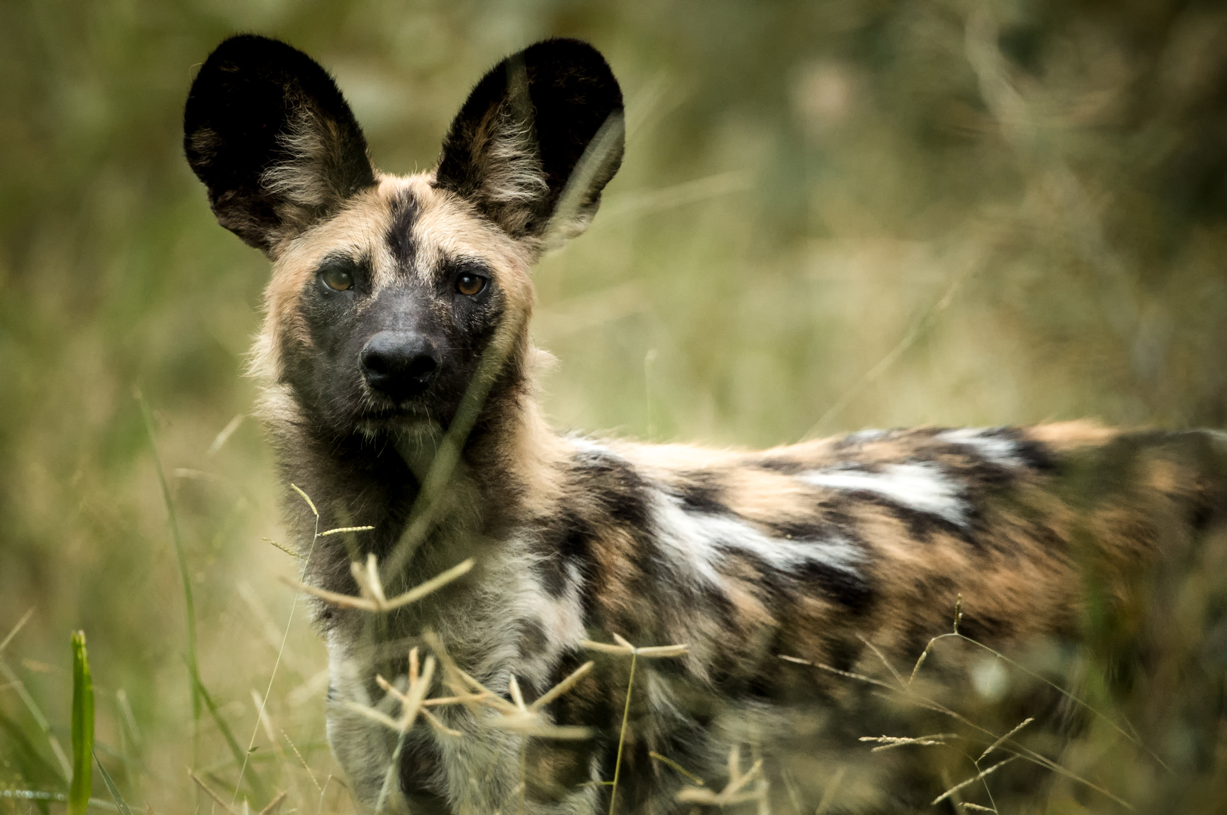Singita Pamushana (Wildlife - Wild Dog)-2.jpg