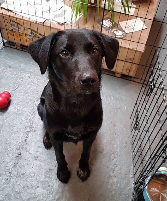Scout is 9 months old today! He's been coming to the workshop every day for 6 months and will hopefully grow into a super fast trail dog.  #teenager #labrador #borador #bordercollie #workshop #dog #fivelandbikes