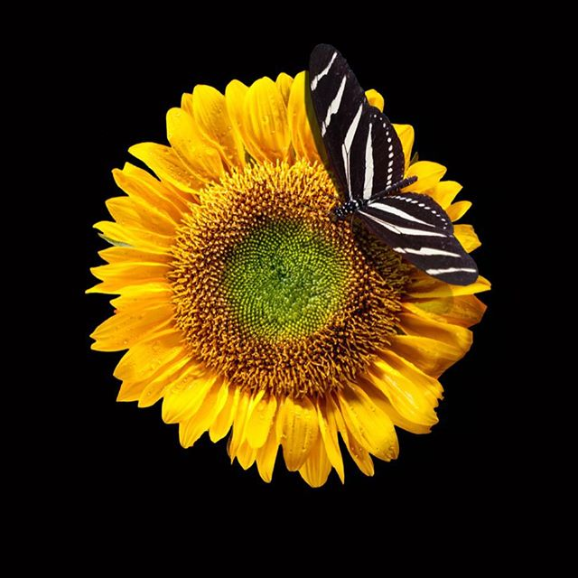 Black and yellow black and yellow 🌻🦋🌻 #naturephotography #sustainability #hedgefund
