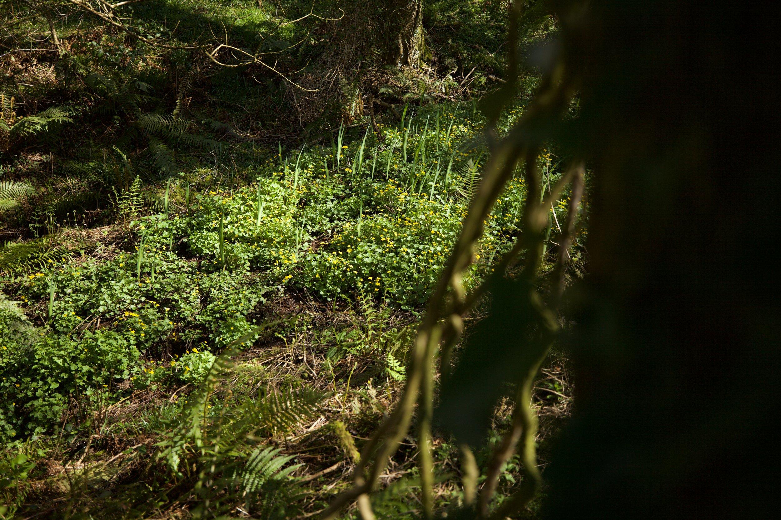 Marsh marigolds in the woods